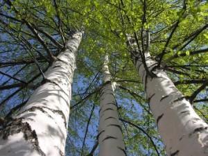Листья березы - лекарственные свойства
