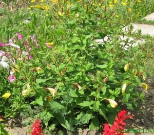 Как распускается цветок Энотера (видео)