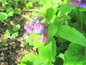 Медуница лекарственная - весенний медонос