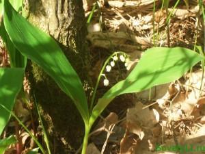 Майские лекарственные растения, ландыш