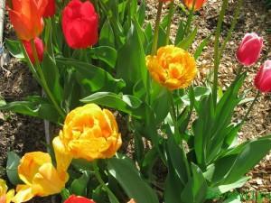 Цветы тюльпаны в саду
