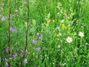 Сбор лекарственных трав в июле: