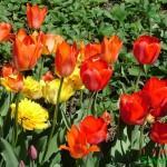 тюльпаны - гороскоп Друидов