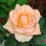 роза чайная - гороскоп Друидов