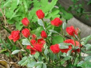 Розы готовим к посадке