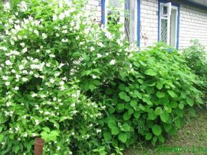 Как обустроить палисадник, кустарники под окнами