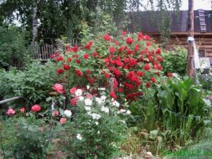 Весенние работы в розарии