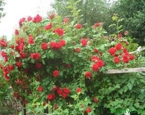 Плетистые цветущие розы