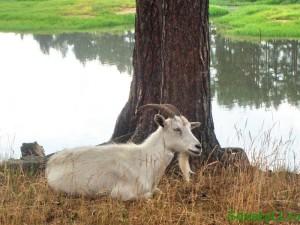 Заговор при покупке козы
