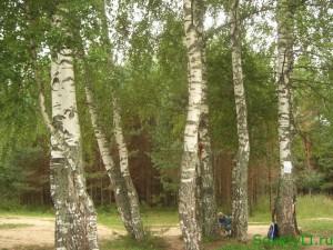 Листья березы лечат почки