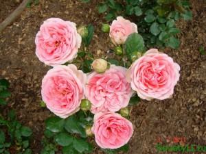 весеннее удобрение для роз