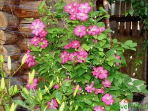 клематис - весеннее удобрение