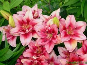 лилия - весеннее удобрение