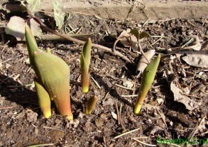 Тюльпаны в апреле