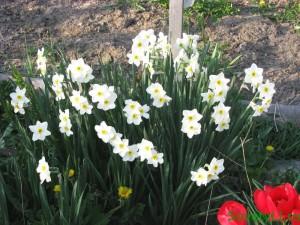 луковичные - весеннее удобрение
