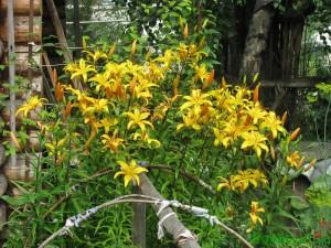 лилейник - весеннее удобрение