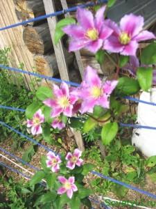 Клематис - цветущая лиана