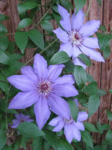 Клематисы цветут дважды