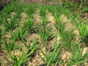 мульчировние почвы