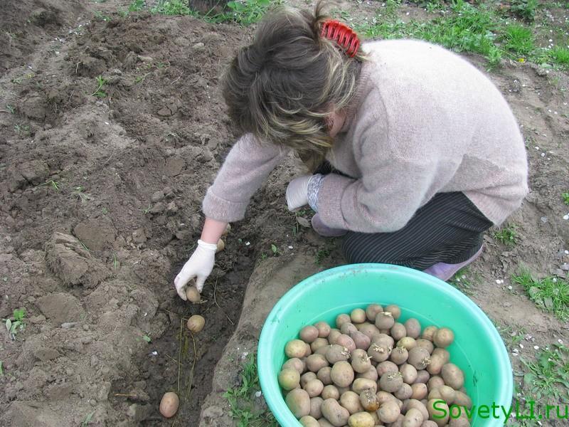 Можно сажать картошку 912