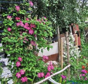 цветущая лиана - клематис