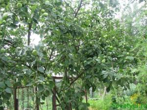 Ухаживаем за фруктовым садом