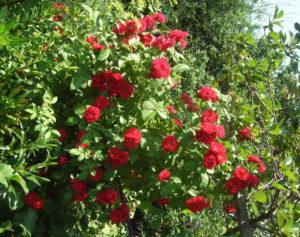 Обильное цветение роз, плетистая роза