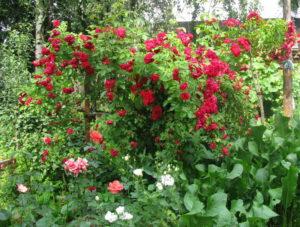 Обильное цветение плетистой розы