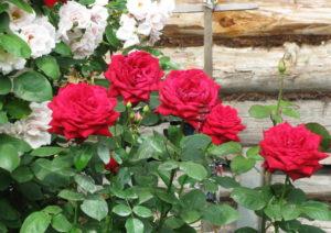 Выбираем место в саду для кустовых роз