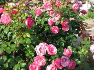 Обильное цветение розы флорибунда