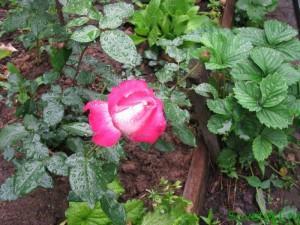 Как спасти растения от жары