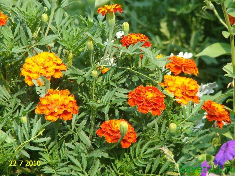 Бархатцы цветы лечебные свойства