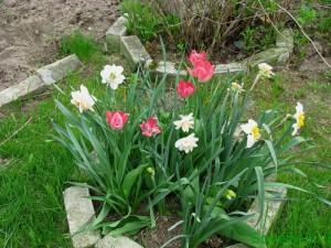 Когда высаживать луковичные цветы, тюльпаны, нарциссы и другие