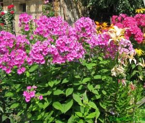 Готовим многолетние цветы к зимовке