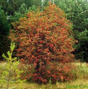 Красная рябина в лесу