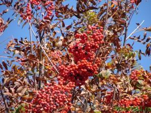 Рябина обыкновенная осенью