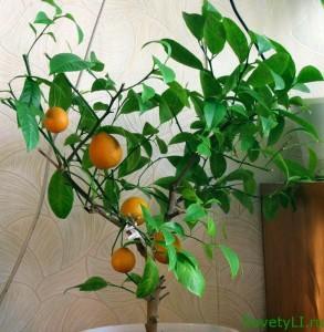 Выращивание цитрусовых дома