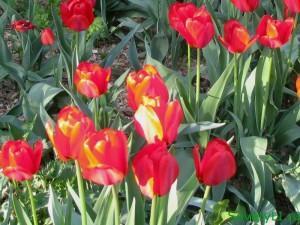Первоцветы к 8 марта тюльпаны