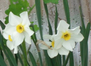 Цветы нарцисса к 8 марта