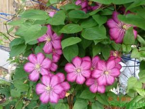 Цветок клематис в нашем саду