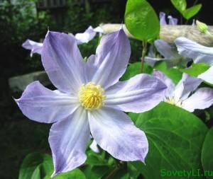 Цветок клематиса в нашем саду