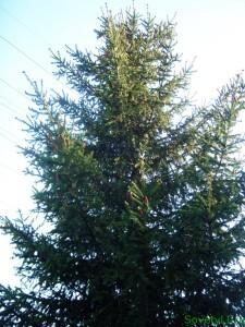 Как выбрать и сохранить живую елку