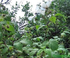 Малина садовая