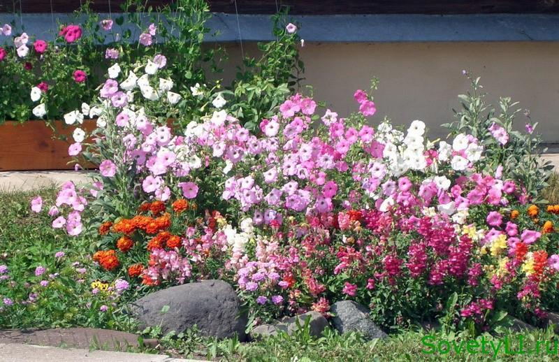 Однолетние цветы в сад