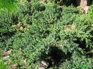 Хвойные в саду - почвопокровные