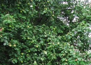Яблоня (особенности выращивания)