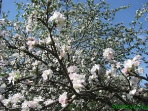 Заговор на цветущую яблоню