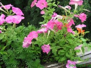Цветущий сад на балконе как вырастить