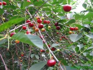вишня (особенности выращивания)