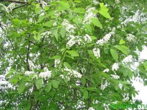 Полезные свойства черемухи белой